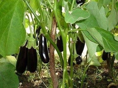 БАКЛАЖАНЫ. НЕСКОЛЬКО СОВЕТОВ ПО ВЫРАЩИВАНИЮ  Важное условие для выращивания...