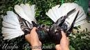 Николаевские мраморные белохвостые голуби 2020