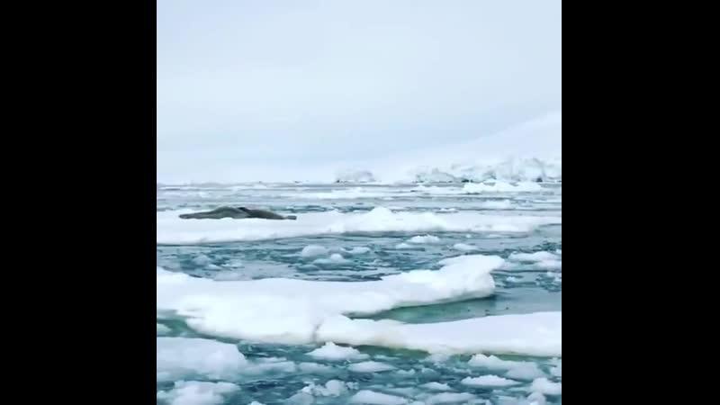 Косатки в Антарктике караулят этих тюленей
