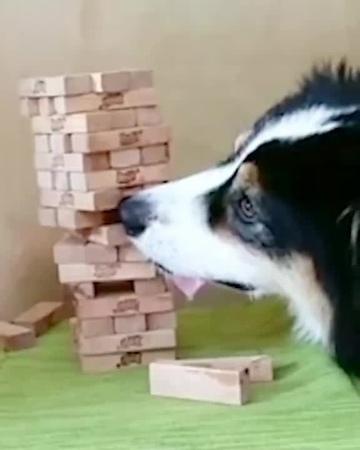 Doggo Plays Jenga