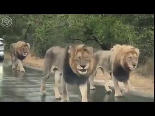 Львы остановили движение на дороге