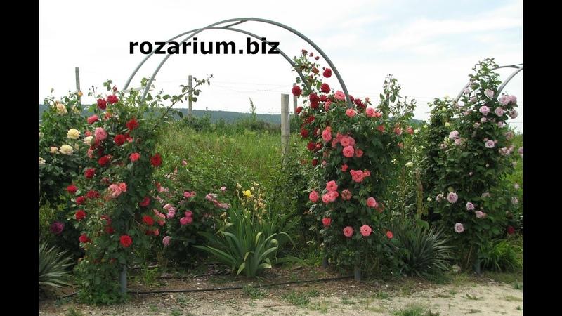 зацвели арки плетистых роз питомник Полины Козловой