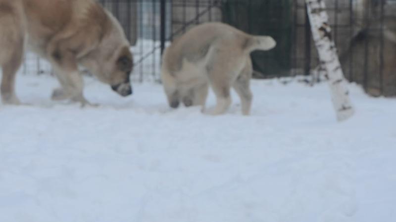 На продаже щенок сао алабая Гарджи Хан Сария 3 5 мес Дочь Самурая 89068902633 ватсап вайбер