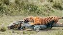 ТИГР В ДЕЛЕ! Тигр против медведя, крокодила, слона, кабана