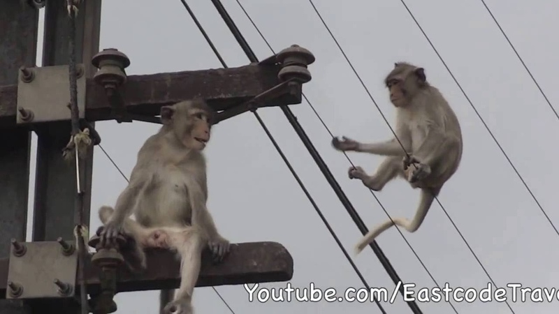 Fearless Monkeys and power lines Lop Buri Thailand