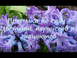 Садовый влог. Цветут нарциссы и гиацинты!