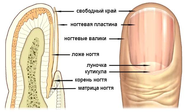 О каких болезнях можно узнать по ногтям., изображение №6