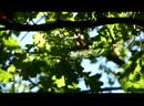 Лесной конёк, Чечётка и Пеночка-весничка