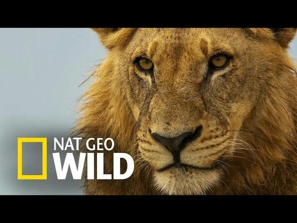 Nat Geo Wild Дикие животные 24 часа 1 серия Африканская саванна