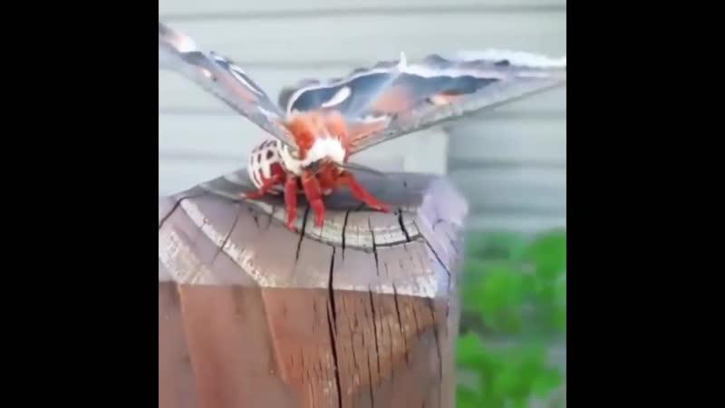 Атласный мотылёк