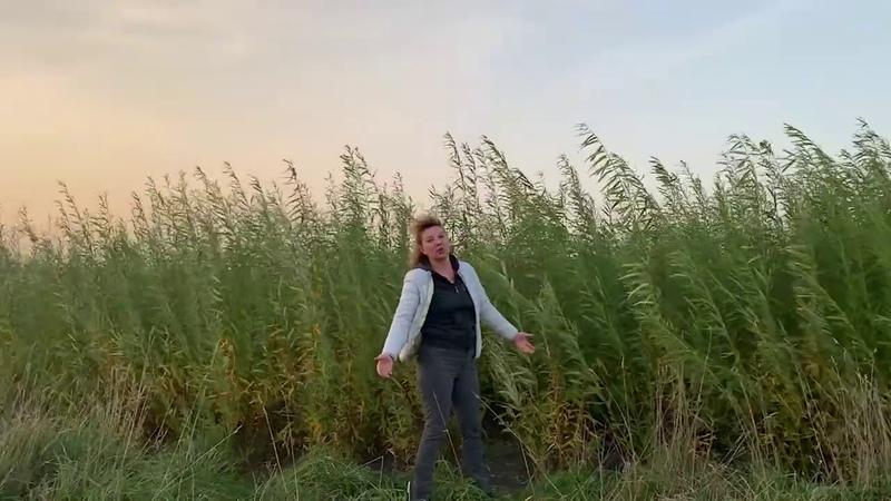 Русская ива Видео обзор Результат посадки плантации в 2020 году