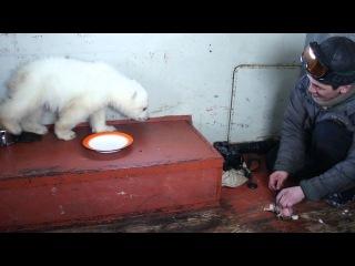 Медвежонок Колымана, спасенный Медвежьим патрулем