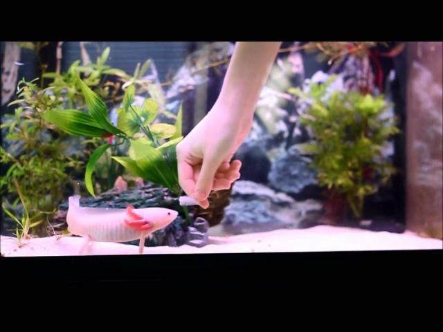 Axolotl Ambystoma Mexicanum Hand fed Nourrit à la main