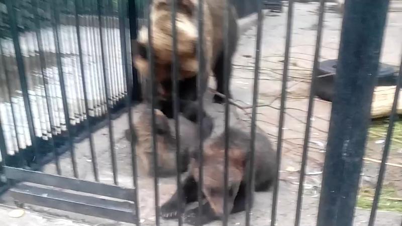 мама медведь играет с детенышем ооооууу