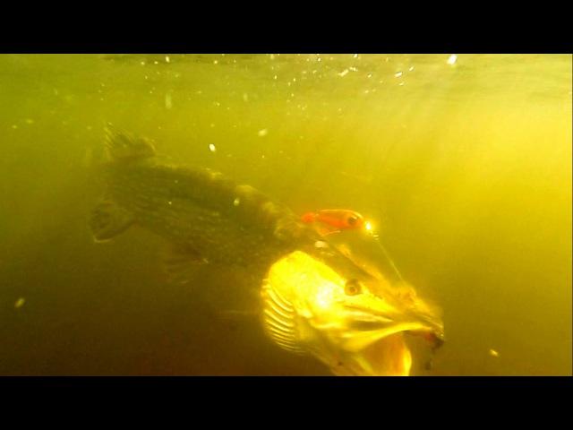 Fishing bright vs dark pike attack StrikePro Wolf Tail under water Рыбалка щука атакует