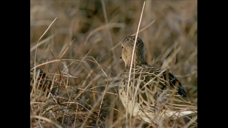 BBC Жизнь птиц The Life of Birds 07 Поиск партнера 1998