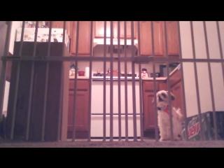 Первое применение антилая и реакция собаки