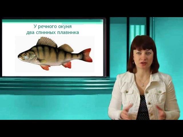 Речной окунь Часть 1 Надкласс Рыбы Тип Хордовые Онлайн подготовка к ЕГЭ по Биологии