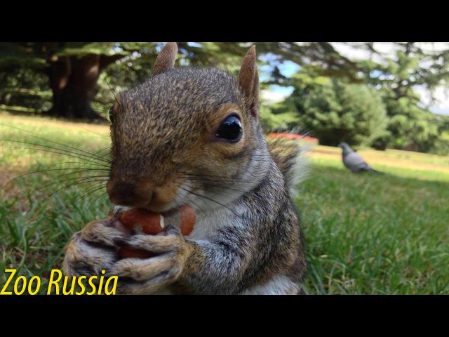 Белка забавно жует яблоко ZooRussia