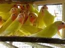 YOUNG LUTINO PEACH FACED LOVE BIRDS OF SYED OVAIS BILGRAMI