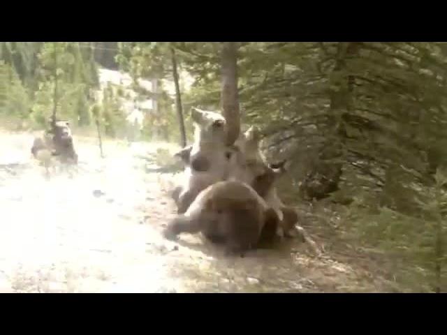 Bears dance · coub коуб