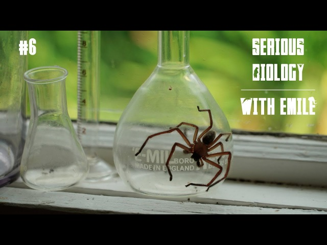 Venomous spiders in Australia redback, huntsman, wolf spider - Serious Biology for Kids 6