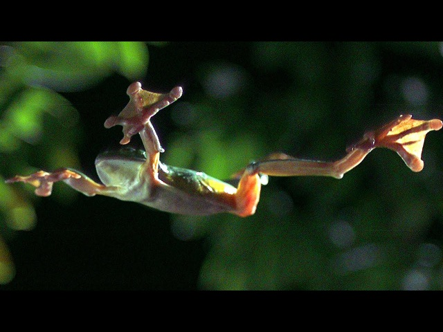 Gliding Leaf Frogs Planet Earth BBC Earth