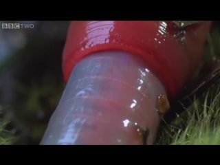 Monster leech swallows giant worm - Wonders of the Monsoon_ Episode 4 - BBC Two