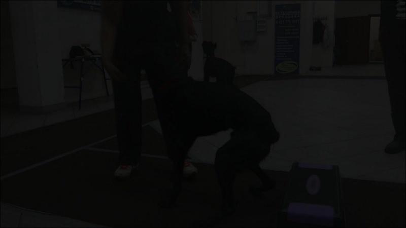 Метис Дарц. Укрепление спины с использованием тренажеров для дог-фитнеса. Тольятти, 31 октября 2017.