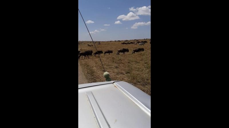 кения антилопы гну великая миграция