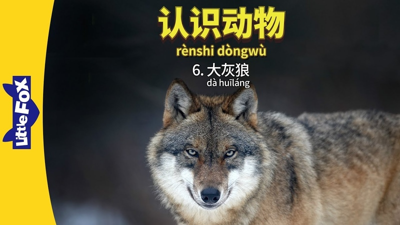 Meet the Animals 6 Gray Wolf 认识动物 6:大灰狼 Level 2 Chinese By Little Fox