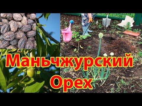 Как посадить маньчжурский орех на Южном Урале