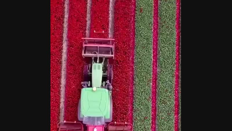 Голландия. Қызғалдақдактар(тюльпаны)