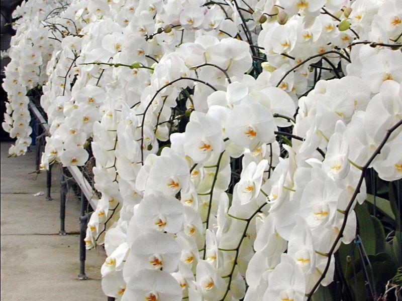 Из старого цветоноса у вас будет как минимум 2 новых орхидеи: простой способ домашнего размножения