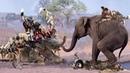 20 chó hoang Mông cổ đối đầu voi rừng kẻ săn mồi nguy hiểm bậc nhất châu phi săn mồi không biết sợ
