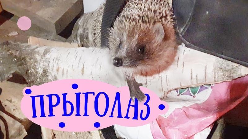 Если в доме завелся ЕЖ ШУША освоилась и БУЯНИТ Ежи ежик ежики hedgehog