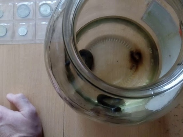 Пиявки медицинские Акт дефекации при смене воды