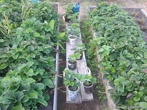 КОРОТКИЕ СОВЕТЫ/ Вот как находчивые садоводы придумали выращивать рассаду клубники. Они прикапывают розетки клубники, образующиеся на усах сразу в стаканчики с питательным грунтом (Только не