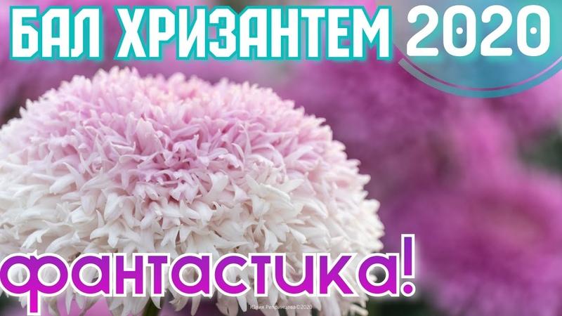 Крым РЕКОРДНЫЙ БАЛ ХРИЗАНТЕМ Цветочный бум в ноябре Никитский Ботанический сад Ялта сегодня 2020