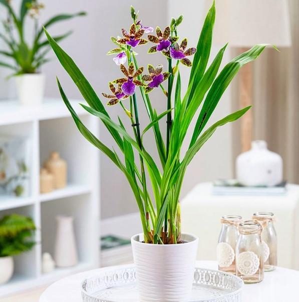 Орхидея зигопеталум