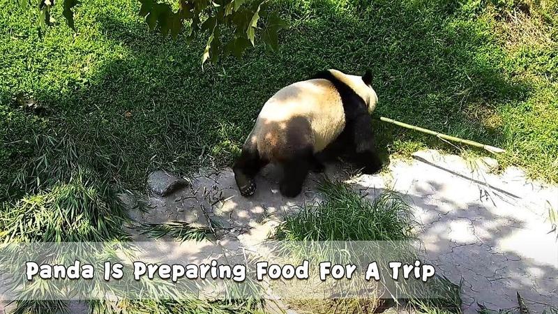 Panda Is Preparing Food For A Trip iPanda