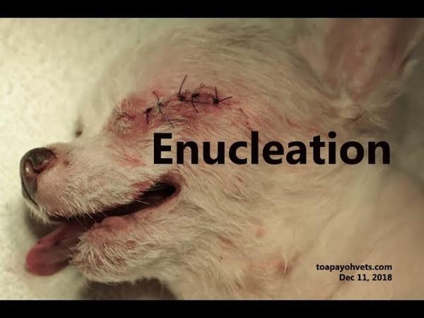 Как происходит удаление глазного яблока (энуклеация) у собак / How removal of an eyeball (enucleation) is performed in a dog