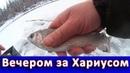 Вечерний клев ХАРИУСА Рыбалка продолжается Grayling fishing