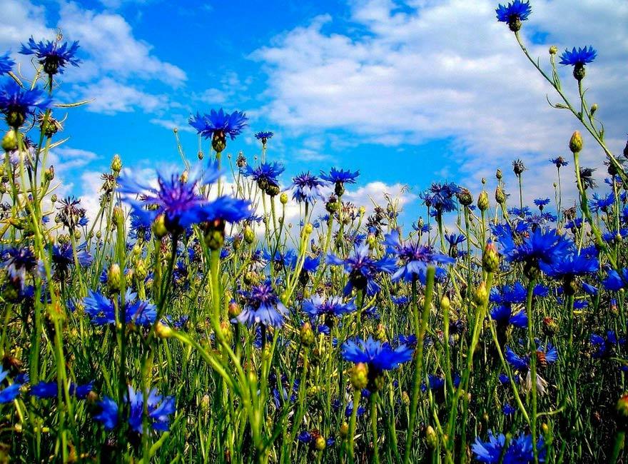 Картинки полевых цветов россии