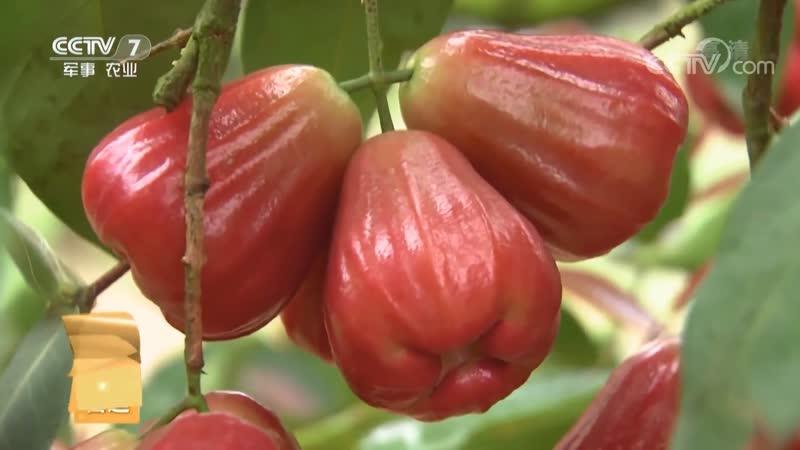 Восковое или Яванское яблоко Лянь У лат Syzygium samarangense в народе говорят Лянь У ДаВан дословно Король Воск