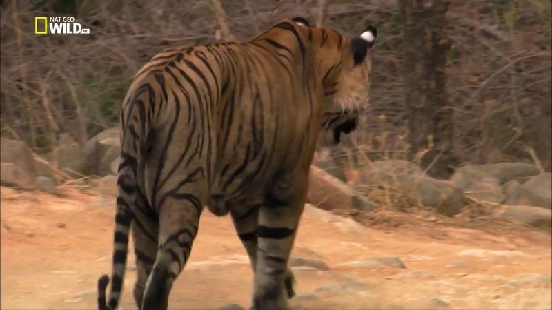Nat Geo Wild Тигр в бегах HD
