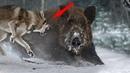 КАБАН В ДЕЛЕ. Версус - Дикий Кабан против медведя, льва, тигра, гепарда! Интересные факты