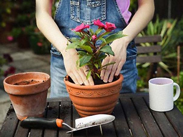 О пересадке комнатных растений