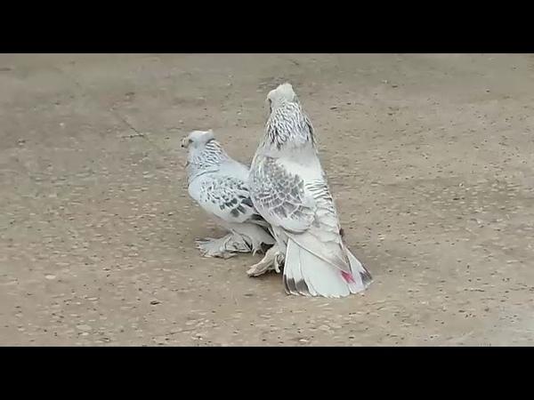 Mardin yer kuşu Çift Tepe