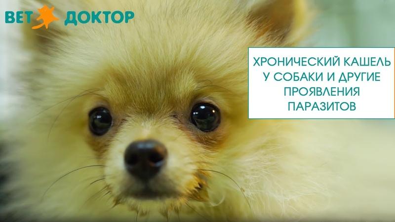 Хронический кашель у собаки и другие проявления паразитов